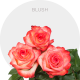 Blush Roses Wholesale