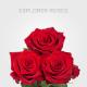 Red explorer Roses from Ecuador