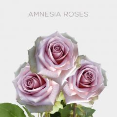 Box Amnesia 50cm (100 St)