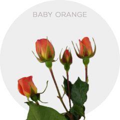 Babe Orange Spray Roses