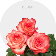 Blush Roses Wholesale