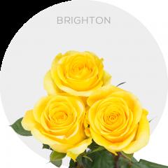 Brighton Roses