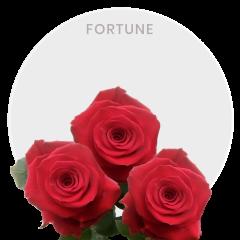 Fortune Roses Wholesale 40-50-60cm (100-125 st)