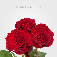 Box Hearts 50cm (100 St)