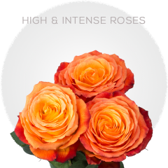 High & Intenzze Roses