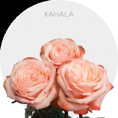 Kahala Roses