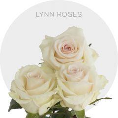 Lynn Roses