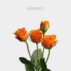 Box Spray Mambo 40-60cm (100 st)