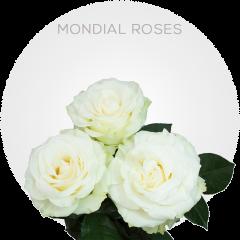 Mondial Roses