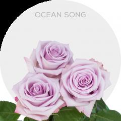 Ocean Song Roses