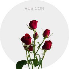 Rubicon Roses