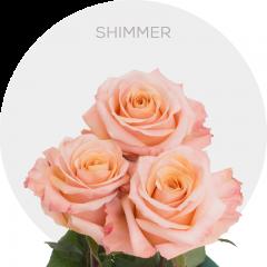 Shimmer Roses