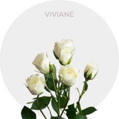 Viviane Roses