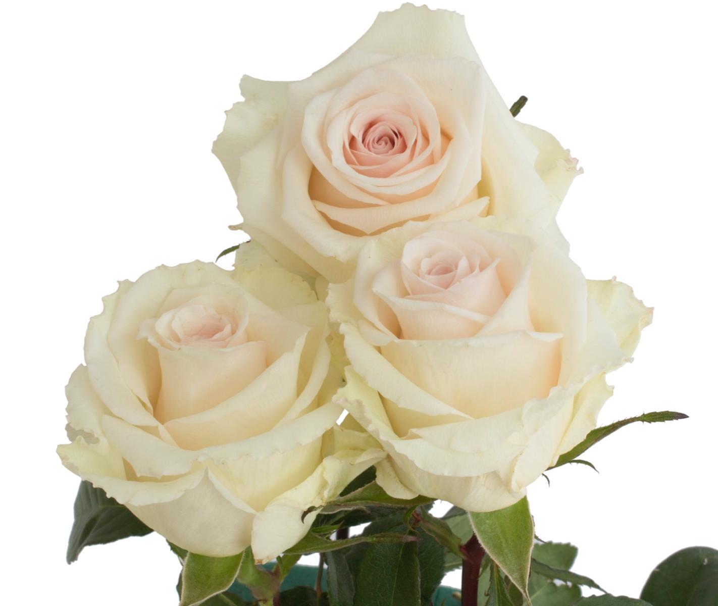Wedding Lynn Roses
